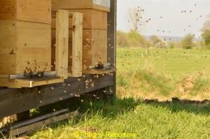 abeilles_vol_TintignyReporters
